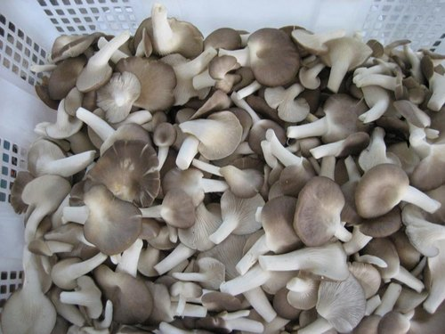 Annric Natural Sajor Caju Oyster Mushroom Spawn
