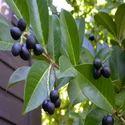 Laurel Berry Oil (Kokila - Indian)
