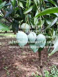 Green Common Fresh Mango, Crate, Packaging Size: 20-50 kg