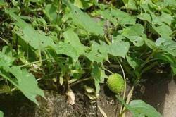 Kantola Plants