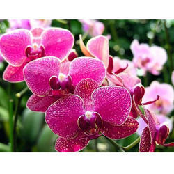 Orchid Natural Flower
