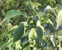 Horticulture Celtis Australis Seeds, Pack Size: 1 Kg