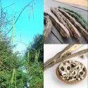 Moringa / Drumstick / Saijan  Sainjana Seeds PKM 1 Variety