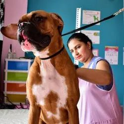 In Bangalore Boxer Grooming