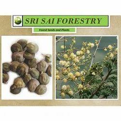 Acacia Leucophloea Plants