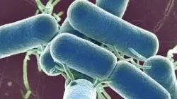 Lactic Acid Bacillus Probiotic