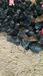 Broiler Chicks in Jabalpur, ब्रायलर