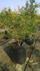 Kandhari Pomegranate Plant