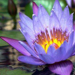 Blue Lotus Attar
