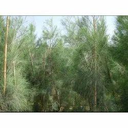 Casuarina Equisetifolia Horse Tail Tree