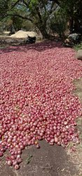 HT Hybrid Onion Seeds, Packaging Type: Red Katti