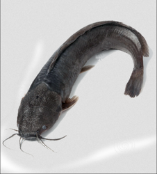 Singara Cat Fish