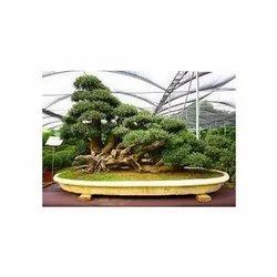 Green Mound Bonsai Plant
