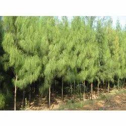Casuarina Equisetifolia Tree
