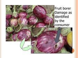 SK AGROTECH Brinjal Fruit Shoot Borer, Packaging Type: Foil Pouch, Pack Size: 1