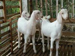 Pet Goat in Chennai - Latest Price & Mandi Rates from Dealers in Chennai