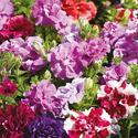 Petunia Flowering Plant