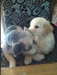 Dogs Training Service