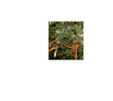 Leucaena Leucocephala ( Native Variety)