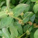Ammaan Pachai Arisi Euphorbia hirta