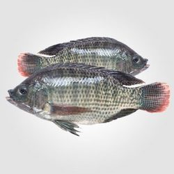 Tilapia Fish Home Delivery Service