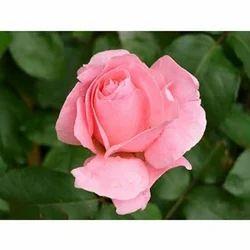 Pink Rose Flower Bundle