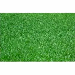 Carpet Lawn Grass