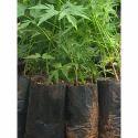 Green Melia Dubia Plant