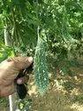 Fruit And Vegetable (karela) bitter gourd