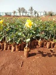 Gold Strike Dutch Rose Plants
