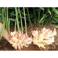 Ginger Seed, For Planting, Pack Size: 50 Kg