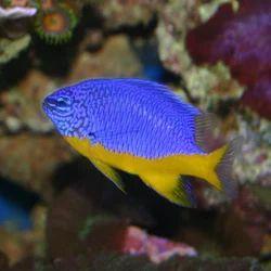 Azzurri Fish