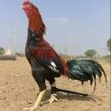 Aseel Rooster Country Chicken
