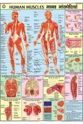 Human Muscles  For Human Physiology chart