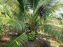 Green Dwarf Coconut