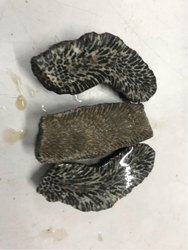 Black Fossil Coral