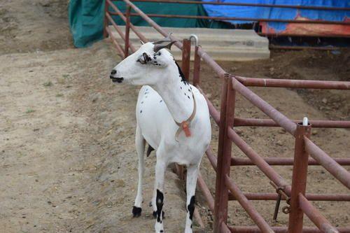 Images of Barbari Goat Annadata Tv Program - #rock-cafe