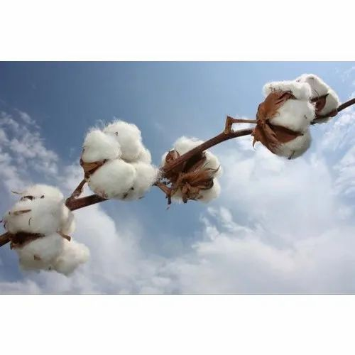 DCH 32 Raw Cotton, Packaging Size: 170 Kgs