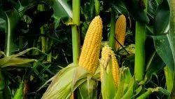 Corn (Kanas)