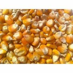 Food Grains Maize Seed
