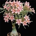 Garden Adenium Plant