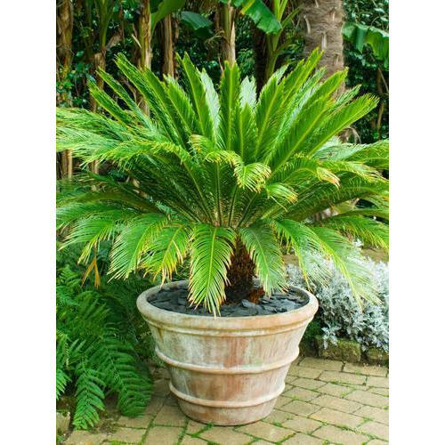 Decorative Outdoor Plant At Rs 50 Piece À¤¸à¤œ À¤µà¤Ÿ À¤ª À¤§ À¤¡ À¤• À¤° À¤Ÿ À¤µ À¤ª À¤² À¤Ÿ Vanganga Agrotech Vadodara Id 15207690255