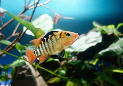 CICHLIDS FISH