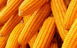 Dry Yellow Maize , Corn, High in Protein