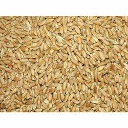 Gangotri Seeds Punjab Wheat Seeds, Pack Size: 40kg