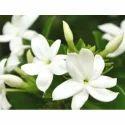 White Jasmine Aroma Oil