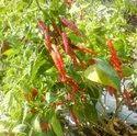 Dry Red Chiili