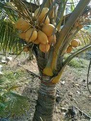 Keralas Coconuts