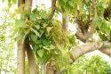 Ficus Religiosa Plants
