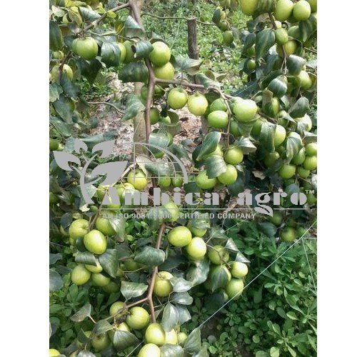 APPLE BER PLANTS
